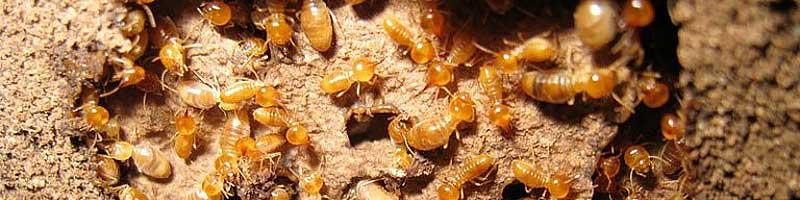 termite damage repair options sunshine coast